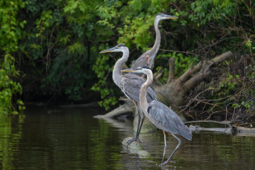 . For $16, nature enthusiasts can enjoy a 2-hour cruise along the Black River and Lorain\'s waterfront areas. The cruise, which departs from Black River Landing, takes them out to the historic Lighthouse, through the city\'s port and in to its vast blue heron rookery.  Eric Bonzar�The Morning Journal