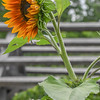 Eric Bonzar—The Morning Journal<br /> Orange sunflowers are in bloom at Avon's  Miller Nature Preserve, 2739 Center Road.