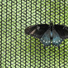 Eric Bonzar—The Morning Journal<br /> A Black Swallowtail butterfly rests on the netting which encloses the Butterfly House at the Miller Nature Preserve, 2739 Center Road, in Avon, July 5, 2016.