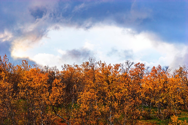 Birch trees are moving in the wind on a sunny autumn day