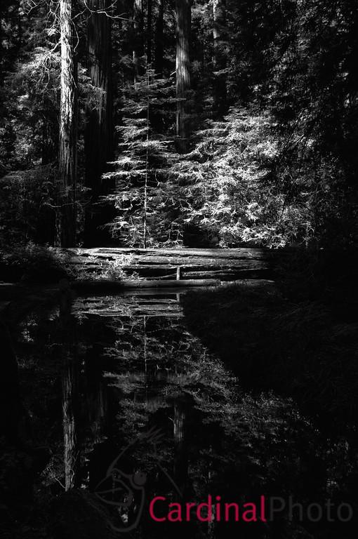 Reflection of Fallen Redwood in Montgomery Woods, Northern California