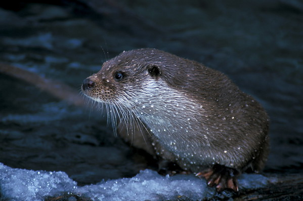 European otter in winter