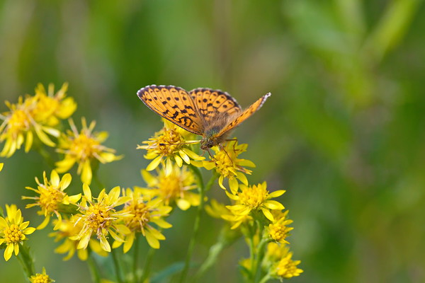 A buttergfly called  silver-washed fritillary  is sucking nectar from a flower