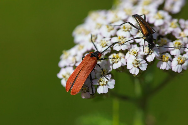 A beetle is feeding on pollen on a white flower