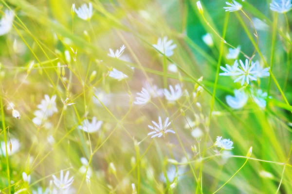 Delicate white flowers are growing in a meadow