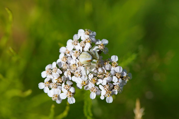 A crab spider is waiting for prey on a yarrow flower
