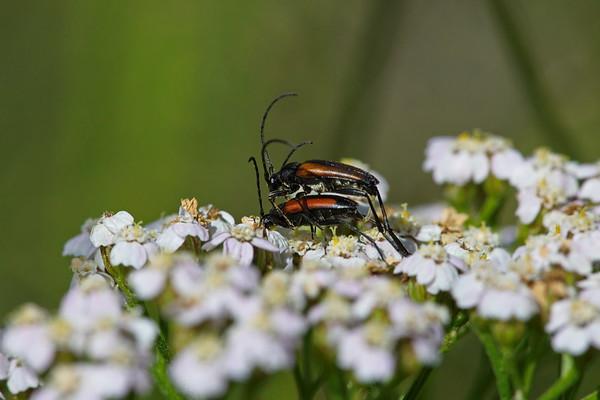 Two red beetles are mating on a white flower