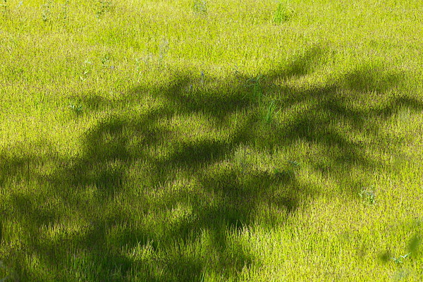 A tree is casting a shadow onto sedges growing in a wetland