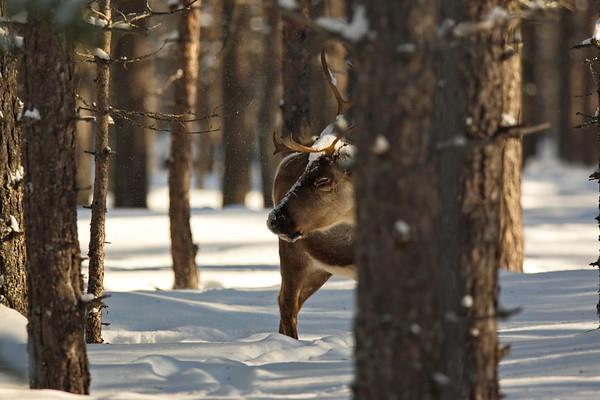Ren i Tällvattnet på vintern -