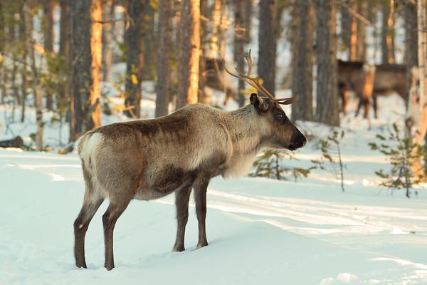 Ren i Tällvattnet - Reindeer in a forest on a sunny winter day