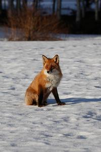 Räv på vintern -  Portrait of a red fox
