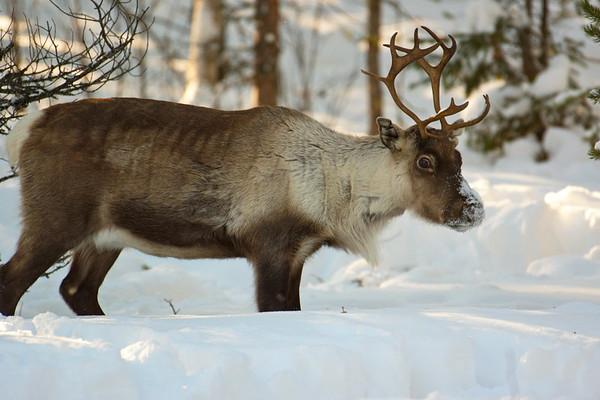 Ren i Tällvattnet på vintern -  Portrait of a reindeer standing in deep snow