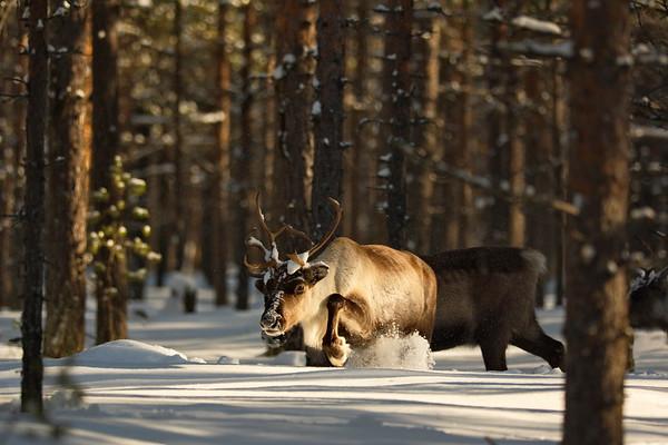 Ren i Tällvattnet på vintern -  Reindeer moving through deep snow in a pine forest