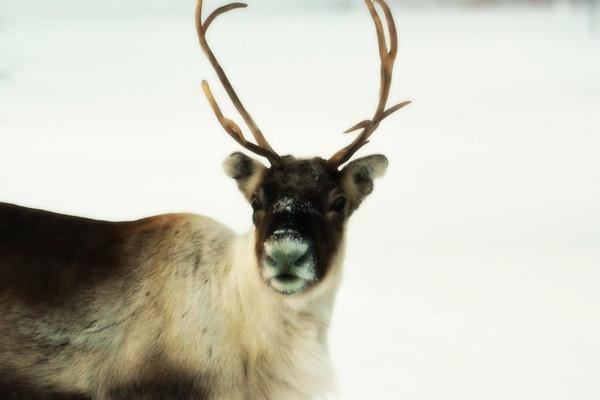 Ren i Tällvattnet på vintern -  Portrait of a reindeer looking in the camera