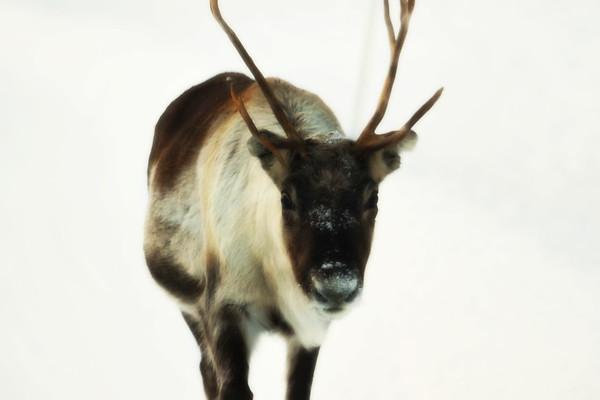 Ren i Tällvattnet på vintern -  Portrait of a reindeer walking through snow