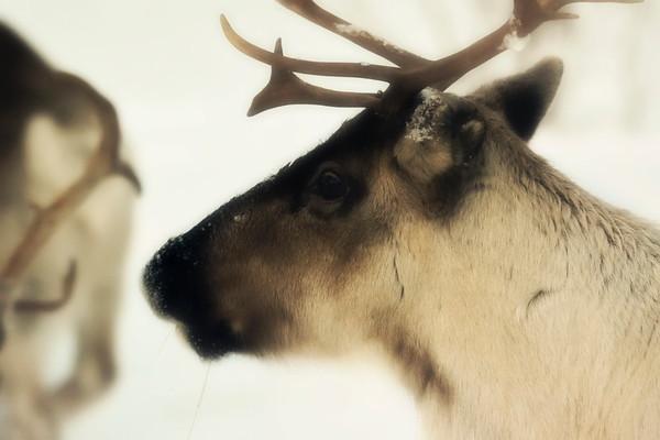 Ren i Tällvattnet på vintern -  Portrait of a reindeer (Rangifer tarandus) moving through snow
