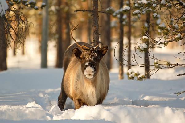 Ren i Tällvattnet på vintern -  Reindeer moving towards the camera through deep snow