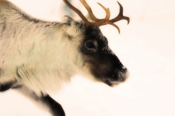 Ren i Tällvattnet på vintern -  Portrait of a reindeer moving through snow