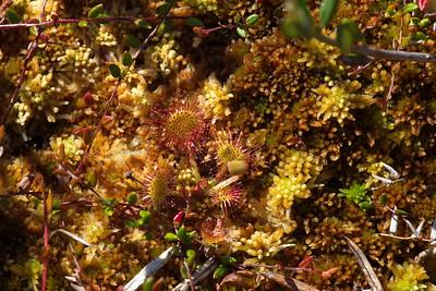 Round-leaved sundew  (Drosera rotundifolia) is growing in a wetland
