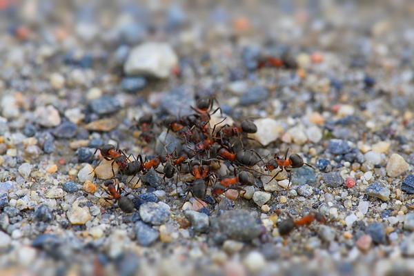 Red wood ants from competing nests are fightning on a gravel road