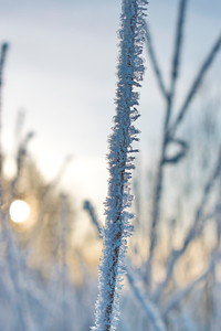 Vinter vid Agnsjön -  Delicate frost crystals illuminated by the golden light of the low winter sun