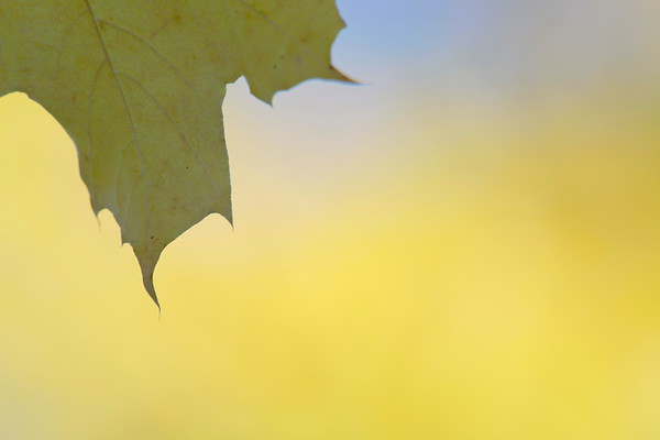 Höstlöv -  Maple leaf in autumn