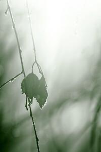 Rimfrost på björklöv - Hoarfrost on birch leaves