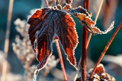 Höstlöv -  Red frosty leaf