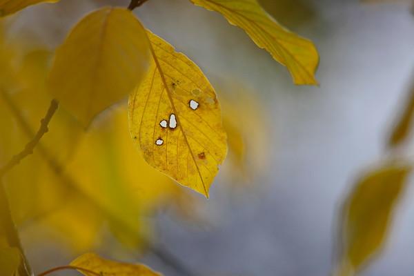 Höstlöv -  Autumn leaves
