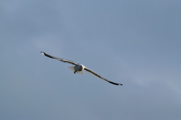 Fiskmås i Styrnäs -  Common gull