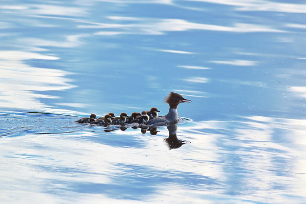 Goosander chicks are riding on the back of their mother