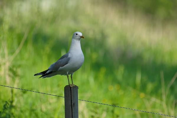 Fiskmås i Styrnäs -  Common gull sitting on a fence