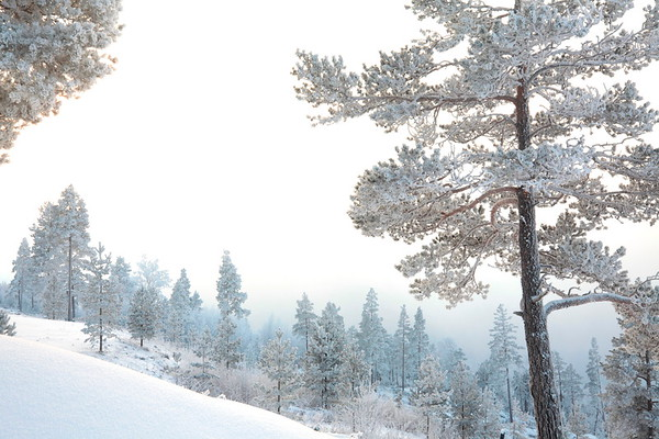 Frost covered trees  - Hornön på vintern