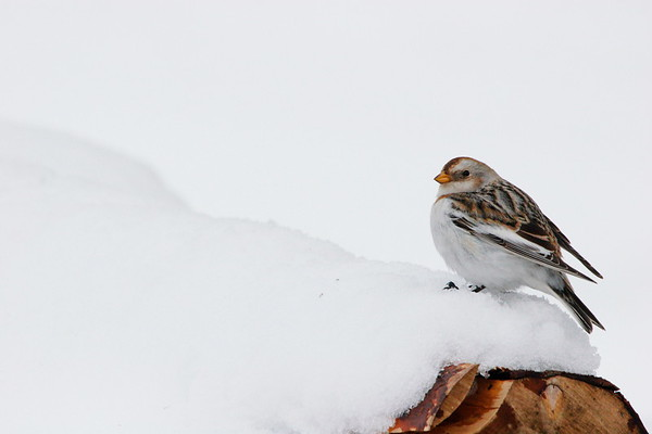 Snow bunting - Snösparv
