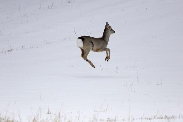 Jumping roebuck  Rådjur