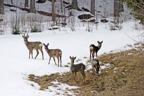 Roe deer in winter  Rådjur
