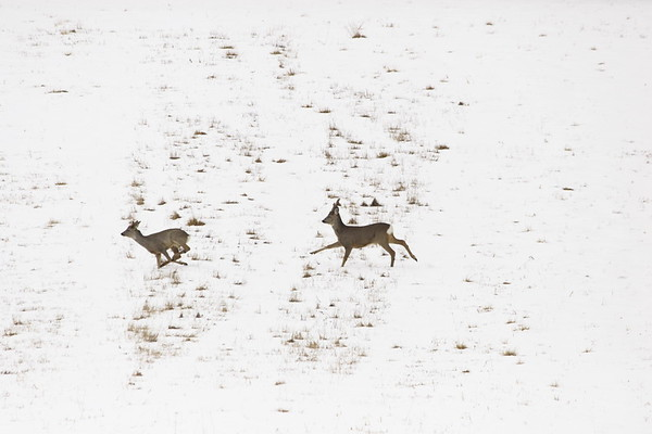 Running roe deer  Rådjur