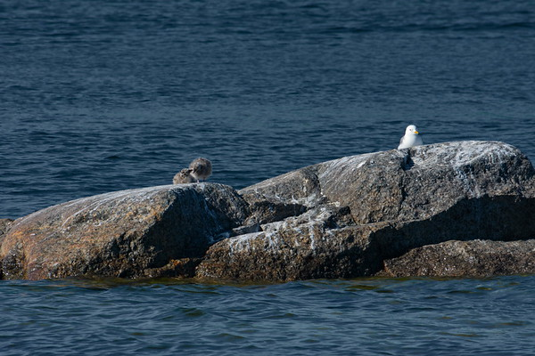 Common gull chicks are sitting on a rock in the sea