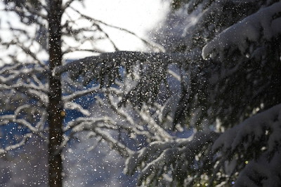 Vind i vinterskogen -  Gusts of snow are falling from trees on a sunny winter day