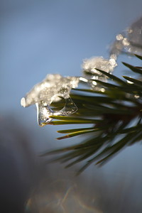 Små istapp på gran gren -   Small icicle on a pine twig