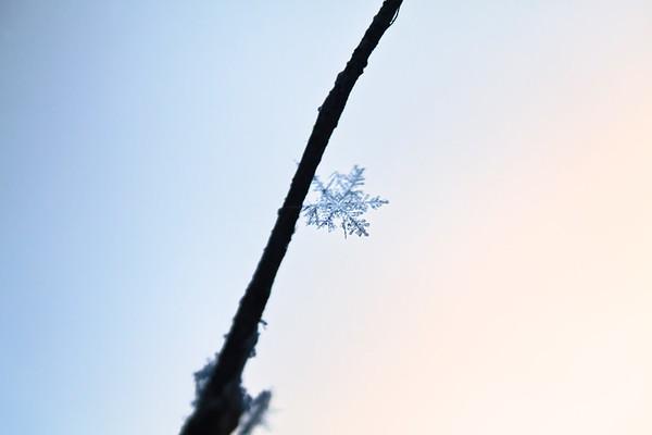 Snöflingor på en kvist - Snowflake on a twig