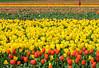 Tulip farm near Woodburn