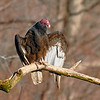 Turkey Vulture Drying Wings