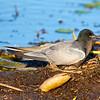 Black Tern on Nest