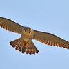 Peregrene Falcon