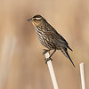 Female Red Winged Black Bird