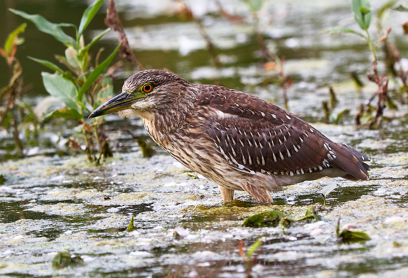 Immature Night Heron - Wye Marsh-2017