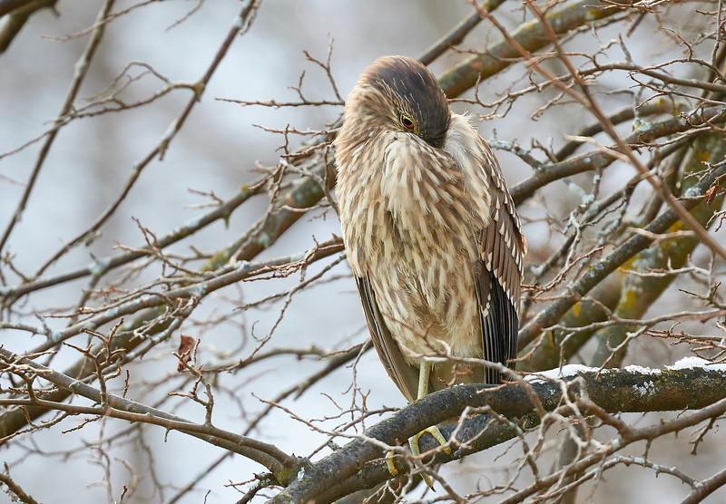 Immature Night Heron Enduring the Cold