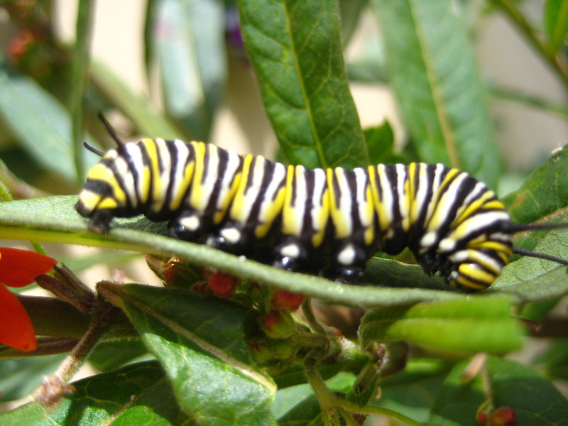 The Monarch cattepillar loves milkweed. We plant it in our yard, and theyy will eat it down to the stems. Soon afterwards cocoons will appear in various places.