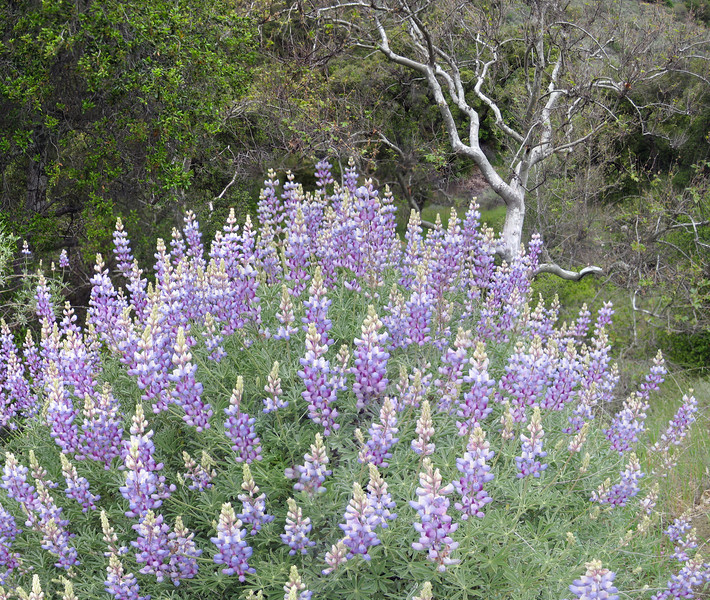 Lupine in the Los Padres National Forest